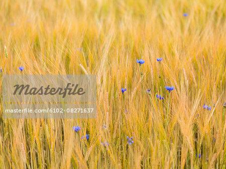 Bluebonnets in wheat field