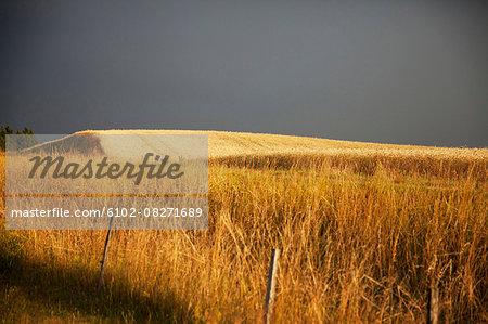 Wheat field under moody sky