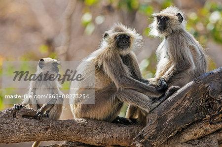 India, Rajasthan, Ranthambhore.  A family of Gray langurs.