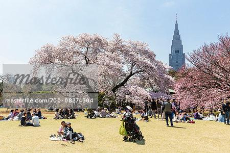 Blooming Cherry Trees at Shinjuku Gyoen National Garden, Shinjuku, Tokyo, Japan