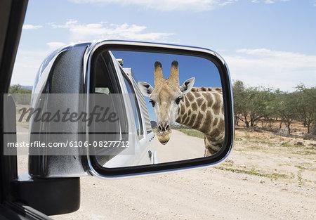 Giraffe watching car's mirror