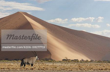 Gemsbok (Oryix Gazella) in the Namib Desert.