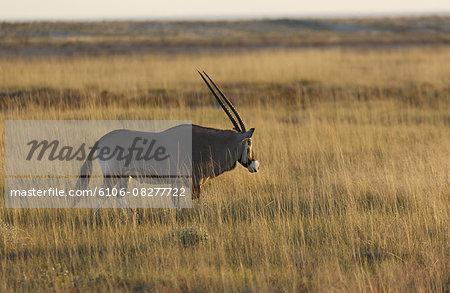 Gemsbok (Oryix Gazella) in Etosha National Park.