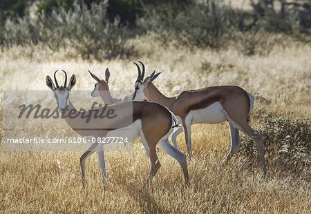 Springboks (Antidorcas marsupialis) in Etosha Nati