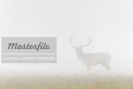Male Fallow Deer (Cervus dama) on Misty Morning, Hesse, Germany