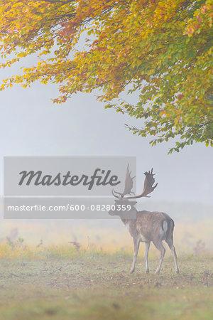 Male Fallow Deer (Cervus dama) on Misty Morning in Autumn, Hesse, Germany