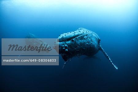 Mature female and young male escort Humpback Whales (megaptera novaeangliae), Roca Partida, Revillagigedo, Mexico