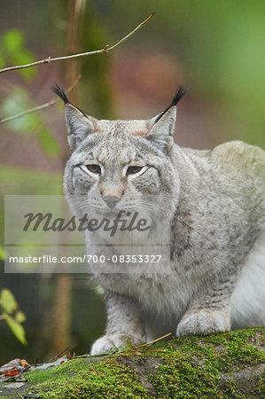 Portrait of Eurasian Lynx (Lynx lynx) in Autumn, Germany