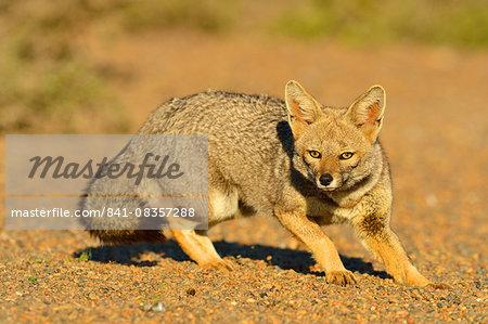 Grey fox (Lycalopex gymnocercus), Peninsula Valdes, Patagonia, Argentina, South America