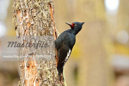 Magellanic woodpecker female (Campephilus magellanicus), Patagonia, Argentina, South America