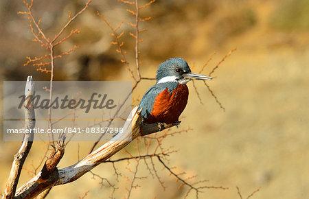 Kingfisher (Alcedinidae), Patagonia, Argentina, South America
