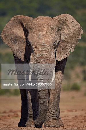 African elephant (Loxodonta africana) bull, Addo Elephant National Park, South Africa, Africa