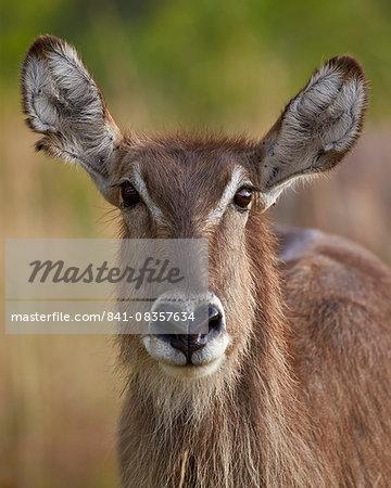 Common waterbuck (Ellipsen waterbuck) (Kobus ellipsiprymnus ellipsiprymnus) doe, Kruger National Park, South Africa, Africa