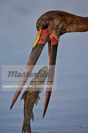 Saddle-billed stork (Ephippiorhynchus senegalensis) with a fish, Kruger National Park, South Africa, Africa