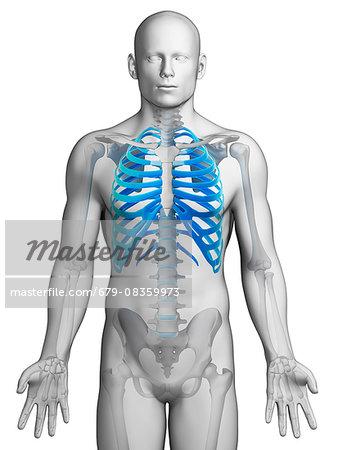 Human ribcage, computer illustration.