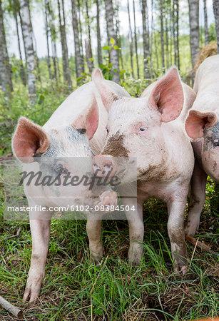Portrait of dirty piglets