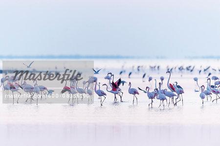 Greater Flamingos (Phoenicopterus roseus) at Dawn, Saintes-Maries-de-la-Mer, Parc Naturel Regional de Camargue, Languedoc-Roussillon, France