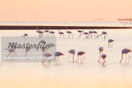 European Flamingos, Greater Flamingos, Phoenicopterus roseus, at Sunrise, Saintes-Maries-de-la-Mer, Parc Naturel Regional de Camargue, Languedoc Roussillon, France