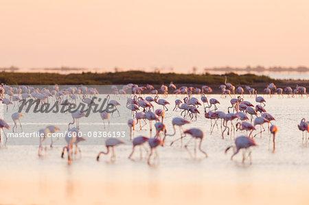 Greater Flamingos (Phoenicopterus roseus) at Sunrise, Saintes-Maries-de-la-Mer, Parc Naturel Regional de Camargue, Languedoc-Roussillon, France