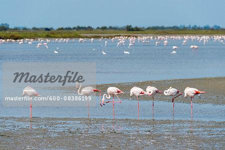 Greater Flamingo (Phoenicopterus roseus), Saintes-Maries-de-la-Mer, Parc Naturel Regional de Camargue, Languedoc-Roussillon, France