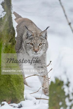 Close-up portrait of a Eurasian lynx (Lynx lynx) on a snowy winter day, Bavaria, Germany