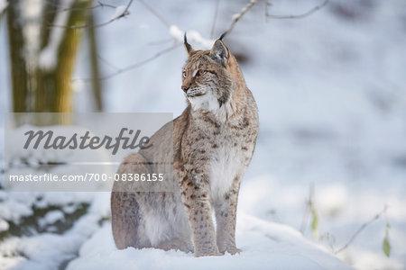 Close-up of a Eurasian lynx (Lynx lynx) on a snowy winter day, Bavaria, Germany
