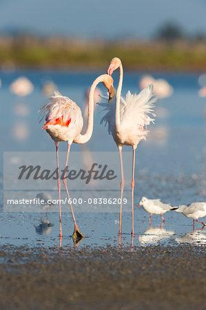Greater Flamingos (Phoenicopterus roseus) and Black-headed Gulls (Chroicocephalus ridibundus), Saintes-Maries-de-la-Mer, Parc Naturel Regional de Camargue, Languedoc-Roussillon, France