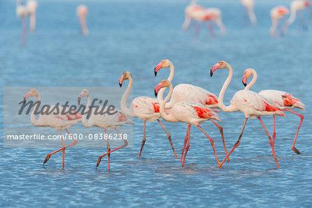 Greater Flamingos (Phoenicopterus roseus), Saintes-Maries-de-la-Mer, Parc Naturel Regional de Camargue, Languedoc-Roussillon, France