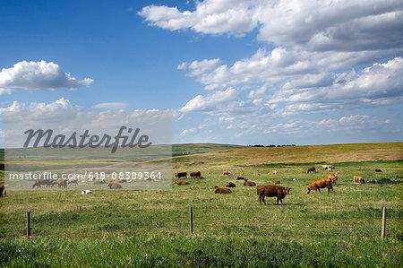 Alberta cows