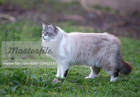 beautiful birman cat in the nature