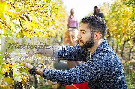 Friends harvesting grapes together in vineyard