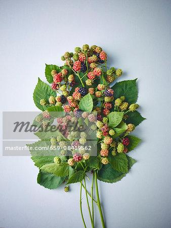 Sprigs of ripe and unripe wild blackberries