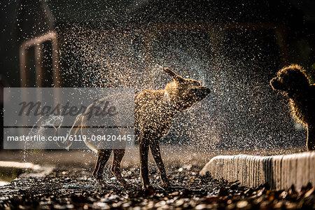 Golden labrador shaking off water in Battersea Park, London, England, United Kingdom, Europe