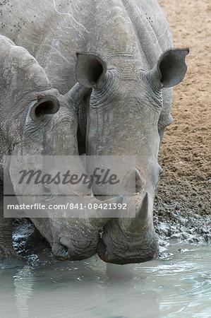 White rhinos (Ceratotherium simum) drinking, Mkhuze game reserve, KwaZulu-Natal, South Africa, Africa