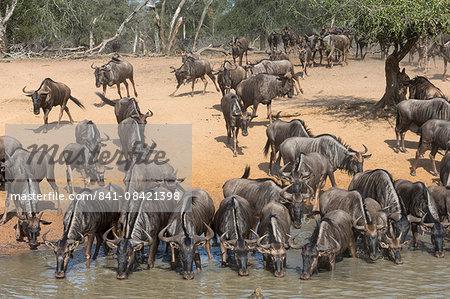 Common (blue) wildebeest (gnu) (Connochaetes taurinus), Mkhuze game reserve, KwaZulu-Natal, South Africa, Africa