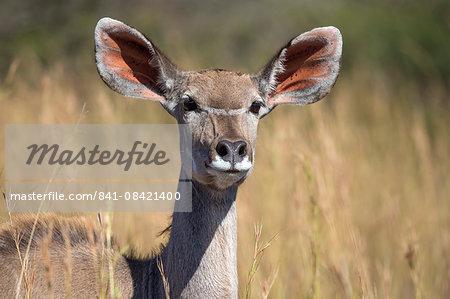 Greater kudu (Tragelaphus strepsiceros) female, Kruger National Park, South Africa, Africa