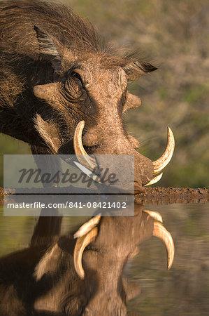 Warthog (Phacochoerus aethiopicus), at water, Mkhuze game reserve, KwaZulu-Natal, South Africa, Africa