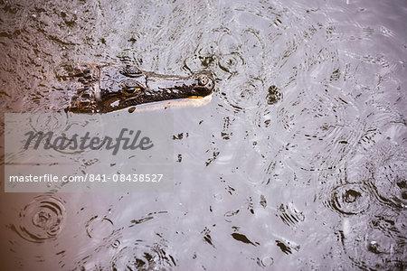 Spectacled caiman (Caiman crocodilus) (Common caiman) (White caiman), Amazon Rainforest, Coca, Ecuador, South America
