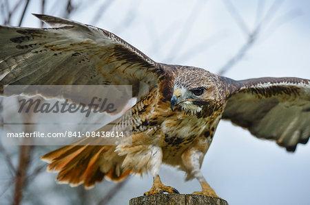 Red tailed hawk, an American raptor, bird of prey, United Kingdom, Europe