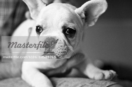 Boston Terrier Puppy Portait