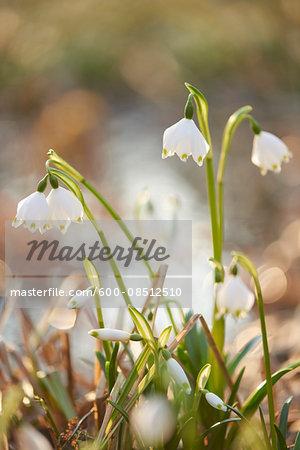 Close-up of Spring Snowflakes (Leucojum vernum) Blooming in Spring, Upper Palatinate, Bavaria, Germany