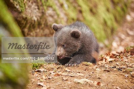 Close-up of Eurasian Brown Bear (Ursus arctos arctos) Cub in Bavarian Forest in Spring, Bavaria, Germany