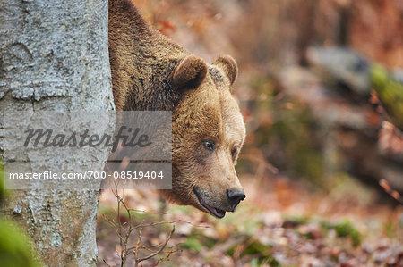 Portrait of Eurasian Brown Bear (Ursus arctos arctos) in Bavarian Forest in Spring, Bavaria, Germany