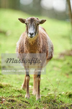 Portrait of Mouflon (Ovis orientalis orientalis) in Spring, Wildpark Schwarze Berge, Lower Sazony, Germany