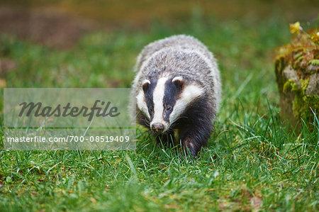 Portrait of European Badger (Meles meles) in Spring, Wildpark Schwarze Berge, Lower Sazony, Germany