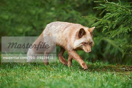 Portrait of Red Fox (Vulpes vulpes) in Spring, Wildpark Schwarze Berge, Lower Saxony, Germany