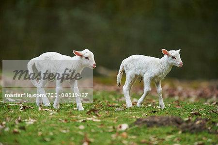 Portrait of Two Lambs (Ovis aries) on Meadow in Spring, Wildpark Schwarze Berge, Lower Saxony, Germany