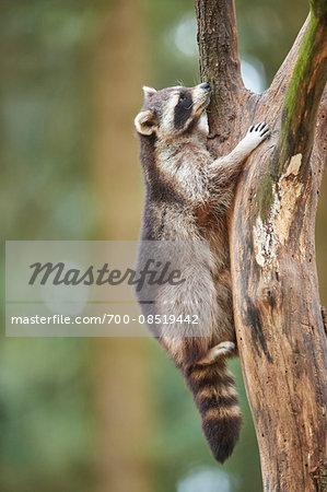 Portrait of Common Raccoon (Procyon lotor) Climbing Tree in Spring, Wildpark Schwarze Berge, Lower Saxony, Germany