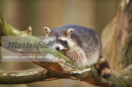 Portrait of Common Raccoon (Procyon lotor) in Tree in Spring, Wildpark Schwarze Berge, Lower Saxony, Germany