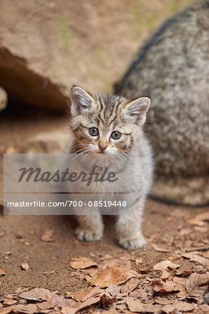 Close-up of European Wildcat (Felis silvestris silvestris) Kitten in Bavarian Forest in Spring, Bavaria, Germany